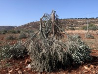 The war on the Palestinian olive harvest